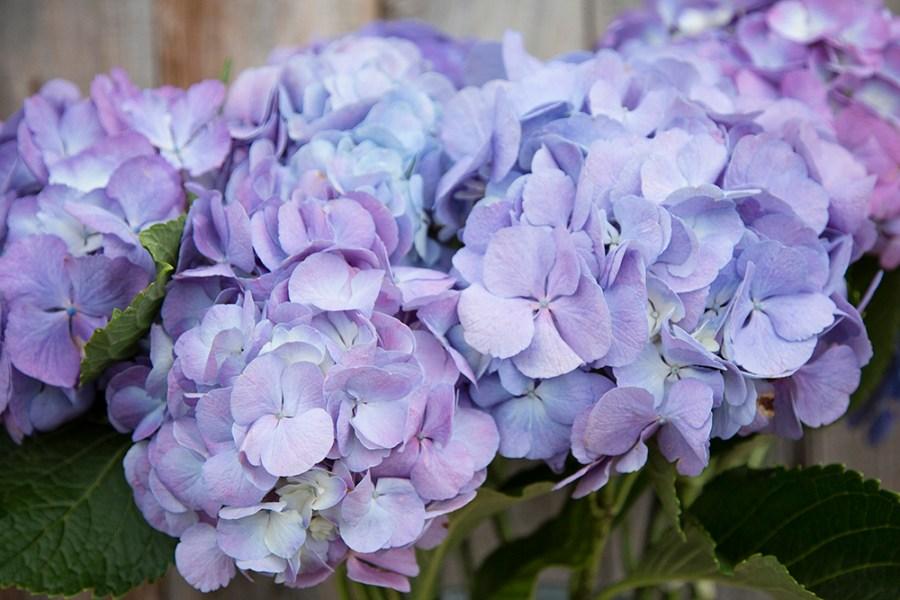 Hydrangea Candyfloss Lilac