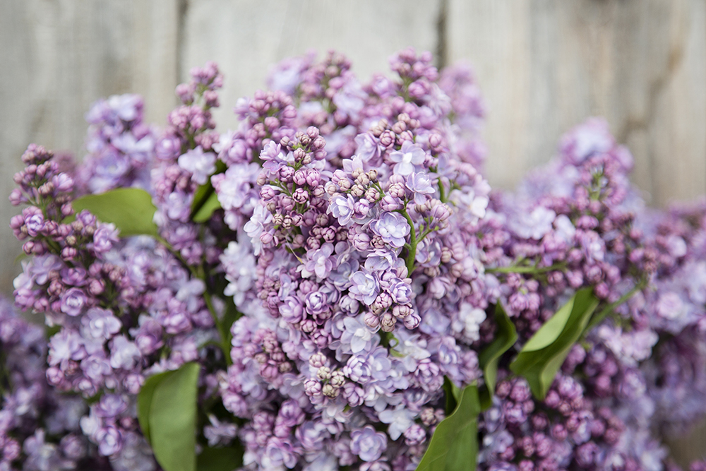 Lilac Italian