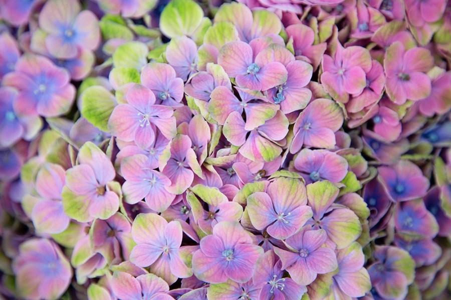 Hydrangea Coral Blue