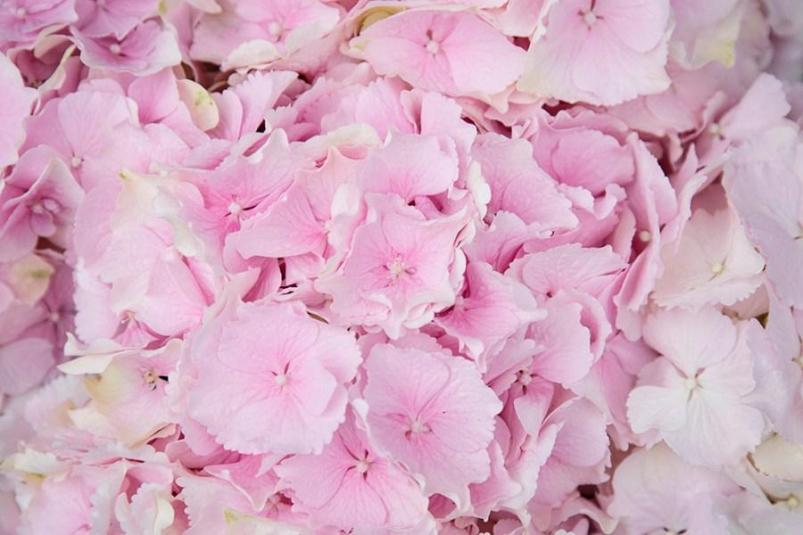 Hydrangea Verena Pale Pink