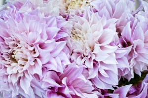 Dahlia Cafe au Lait Dark
