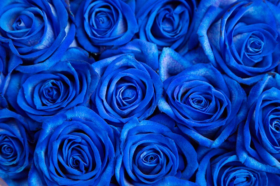 Rose Vendela Blue