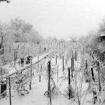 Plantaţiile de viţă-de-vie, în pericol de îngheţ