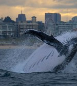 45-Tonne-Whale-Breaches-Close-To-Bondi-Beach