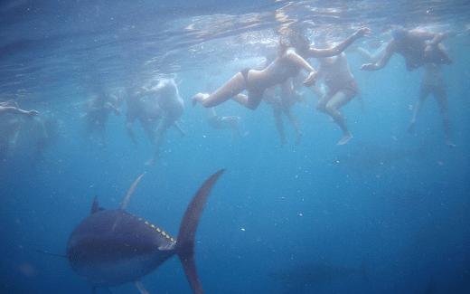 zwemmen met tonijnen