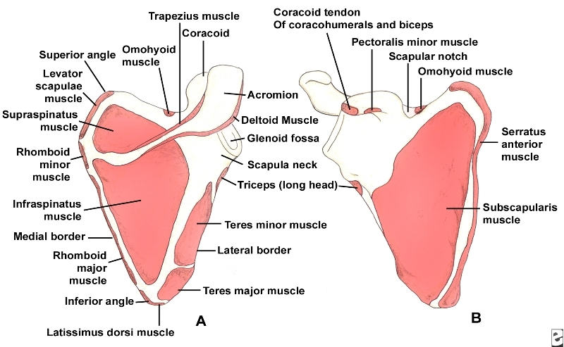 Scapula Bone Anatomy And Muscles