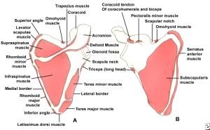 Muscles of scapula http://healthfavo.com/wp-content/uploads/2014/07/Shoulder-Blades-pain.jpg