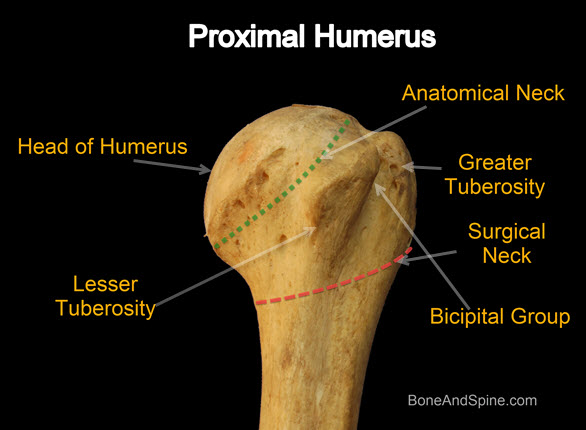 Humerus Bone Anatomy, Attachments and Side Determination | Bone and ...