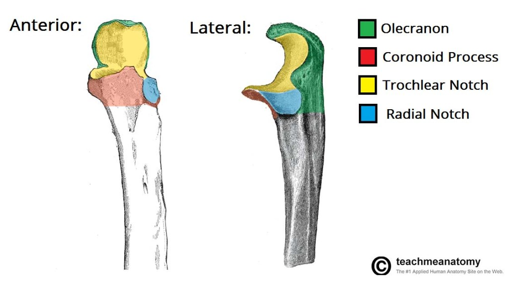 Proximal part of ulna