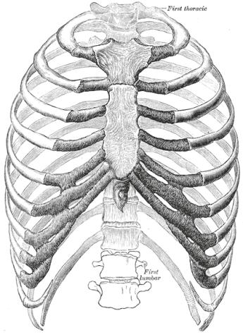 Thoracic Spine Anatomy   Bone and Spine
