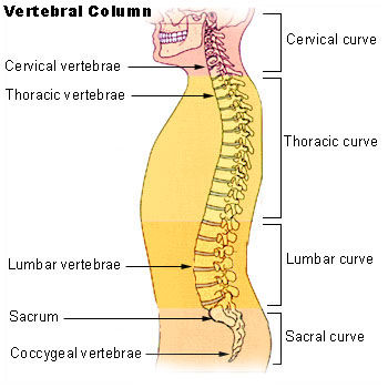 Lumbar Spine Anatomy Bone And Spine