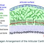 articular cartilage zones