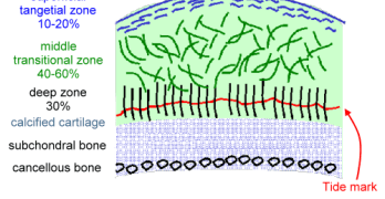 Articular Cartilage Structure and Function