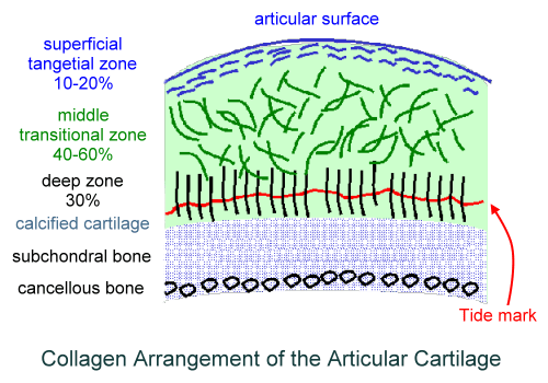 articular cartilage zones