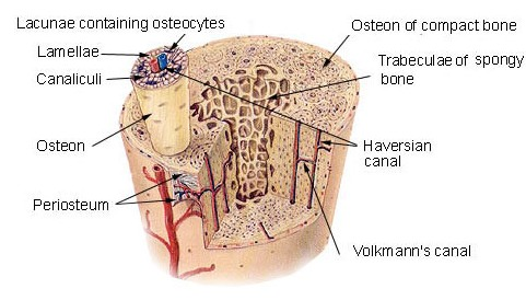 What Is Osteon? | Bone and Spine
