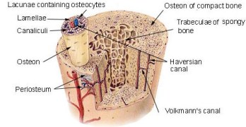 What Is Osteon?