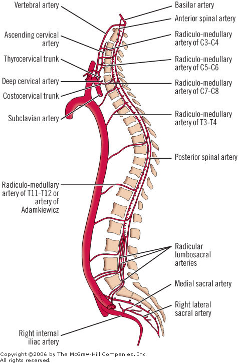 Blood Supply of Spinal Cord | Bone and Spine