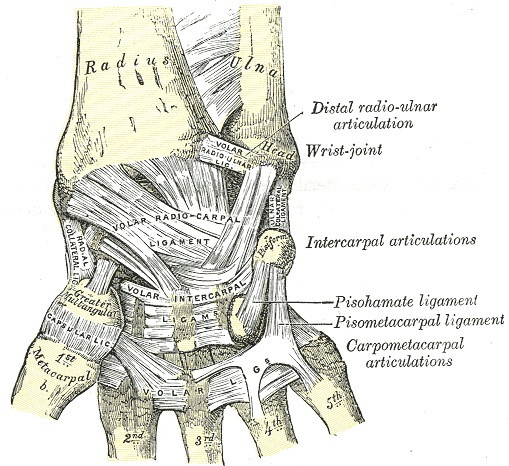 Ligaments of Wrist | Bone and Spine