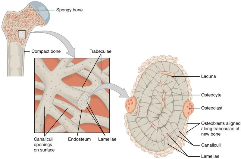 cortical bone and cancellous bone | bone and spine, Human body