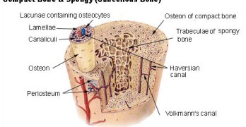 Cortical Bone and Cancellous Bone