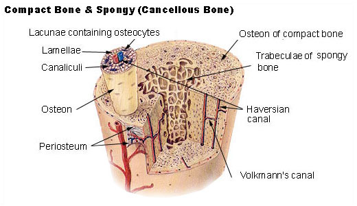 Structural Arrangement of Cortical Bone and Cancellous Bone