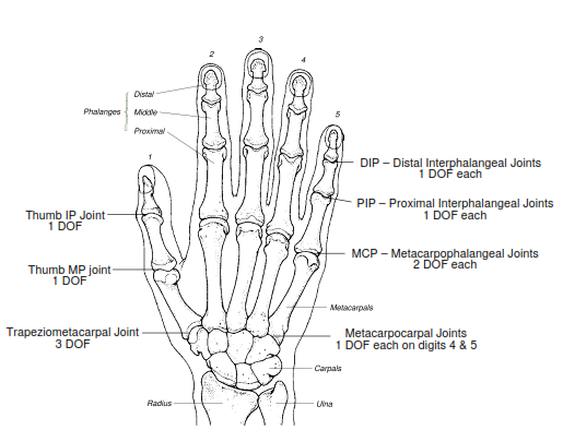 degrees of freedom of upper limb bone and spine rh boneandspine com hand diagram joints Thumb Diagram