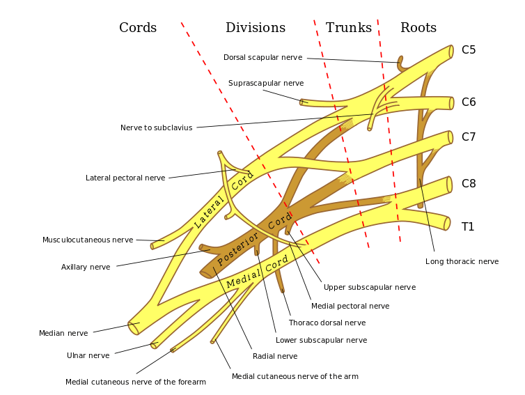 Brachial Plexus Anatomy Bone And Spine