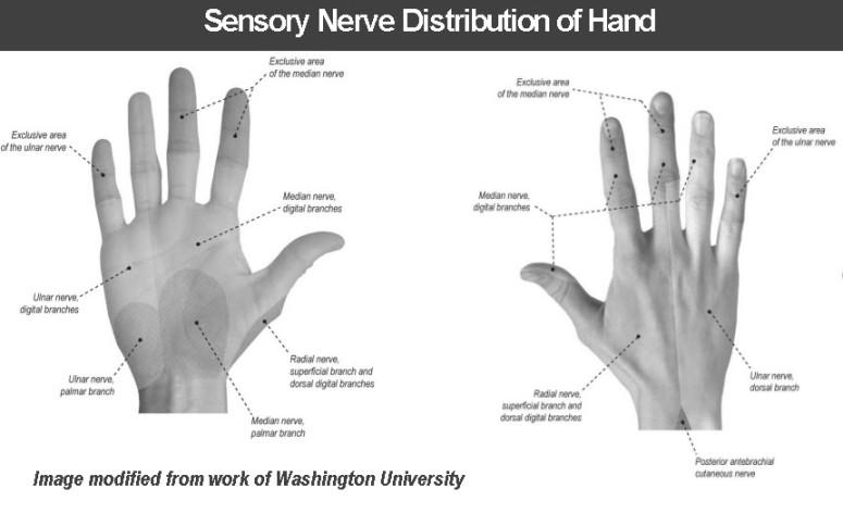 Sensory Distribution of Hand