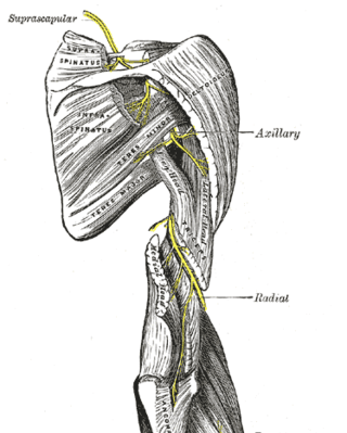 Suprascapular Nerve - Anatomy & Clinical Significance | Bone and Spine