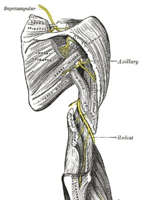 Suprascapular nerve course, Public domina image