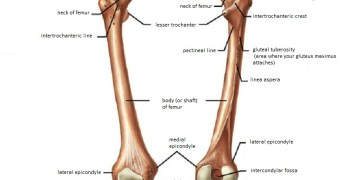 Femur Anatomy and Attachments