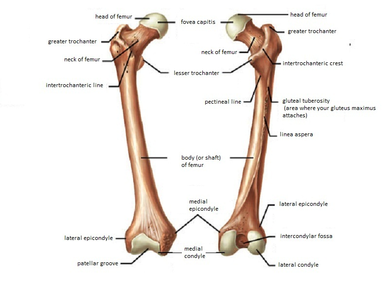 Femur Anatomy and Attachments | Bone and Spine