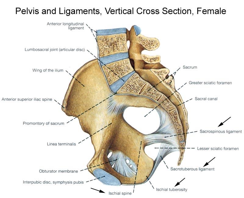 section of bony pelvis