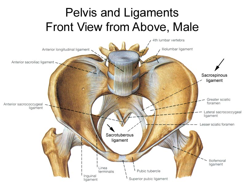 Bony Pelvis Anatomy | Bone and Spine
