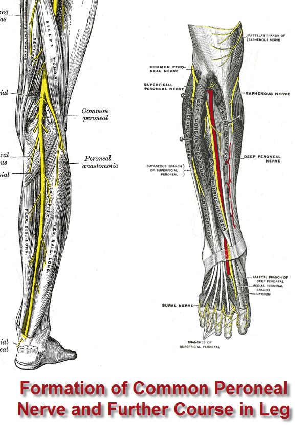Peroneal Nerve Entrapment Bone And Spine