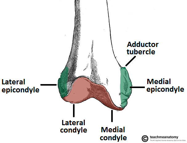 Anatomy of femur