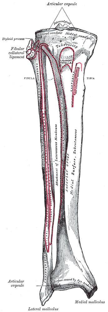 tibia-attachements-posterior-aspect