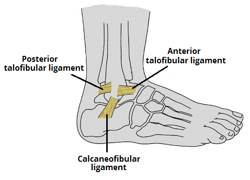 ankle joint anatomy | bone and spine, Cephalic Vein