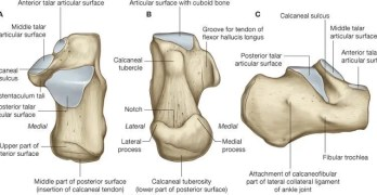 Calcaneus Anatomy and Attachments