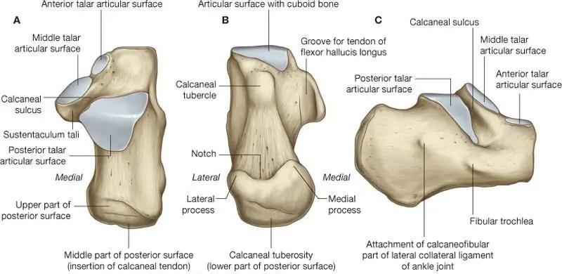 Calcaneus anatomy