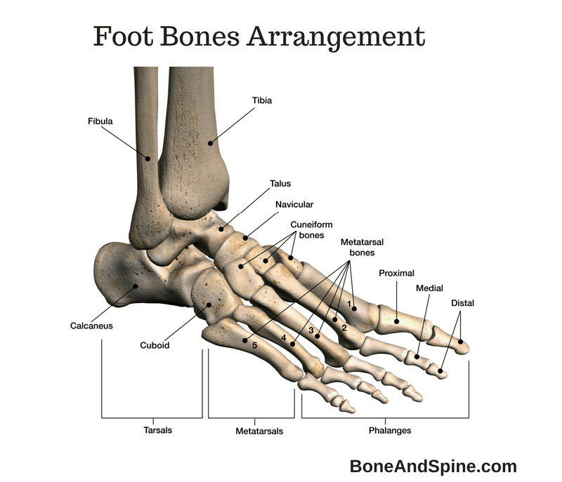 Diagram Of Subtalar Foot Bones - DIY Enthusiasts Wiring Diagrams •