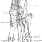 Anatomy of Metatarsal Bones and Phalanges