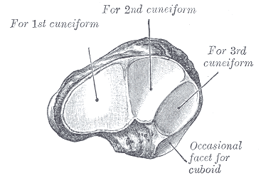 Anteromedial view of navicular