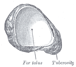 Posterolateral view of navicular