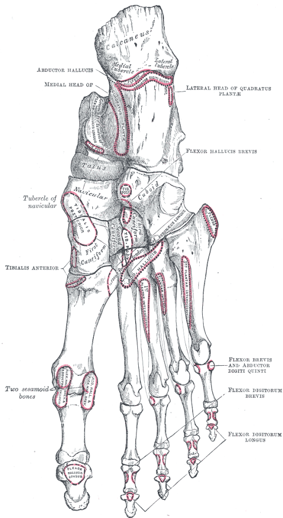 attachments on tarsal bones