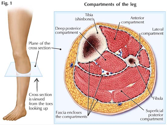 Compartments of Leg