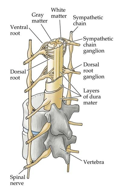 Contents of Vertebral canal