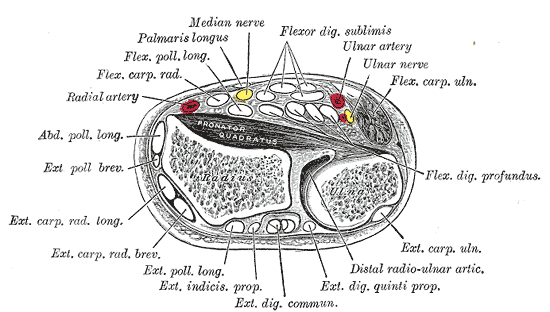 Cross section of the wrist