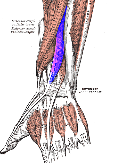 Muscles of Hand and Wrist | Bone and Spine