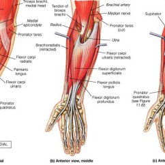 Palmar Hand Muscle Anatomy Diagram Car Spotlight Wiring Muscles Of And Wrist | Bone Spine